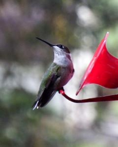 Hummingbird-092215-01