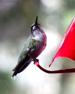 Hummingbird-092215-02