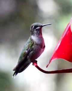 Hummingbird-092215-03