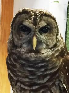 06-Gus-Owl