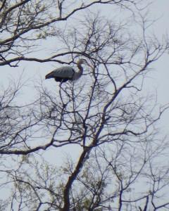54-GreatFalls-Heron