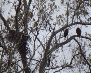 57-GreatFalls-BaldEagles-Nest
