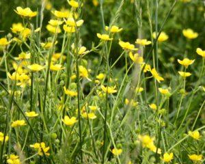 021-Buttercups
