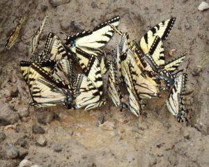 026-Butterflies