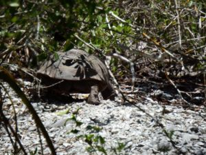 094-FL-DingDarling-Tortoise