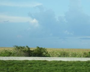 107-FL-AlligatorAlley-SugarCane