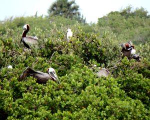 150-FL-PonceInlet-Pelicans