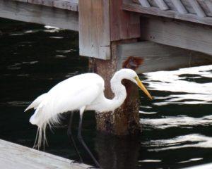 158-FL-InletHarbor-Egret