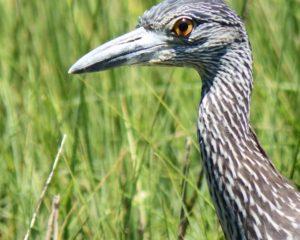 026-Heron-Egret