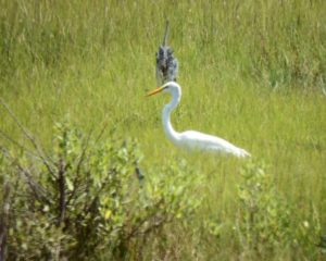 041-GreatEgret