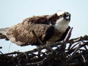 050-Osprey-JamestownFerry
