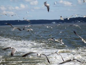 057-Gulls-JamestownFerry