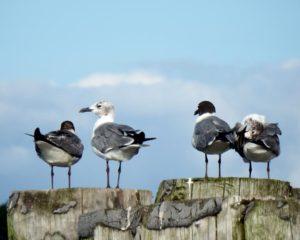 058-Gulls-JamestownFerry